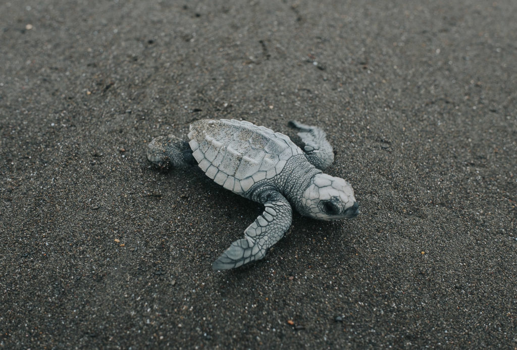 newly hatched baby turtle on beach at playa ostional in costa rica