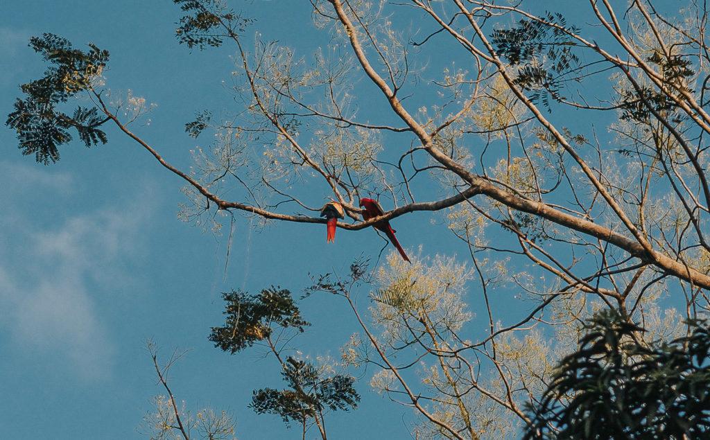 macaws sitting in tree in costa rica parque nacional manuel antonio