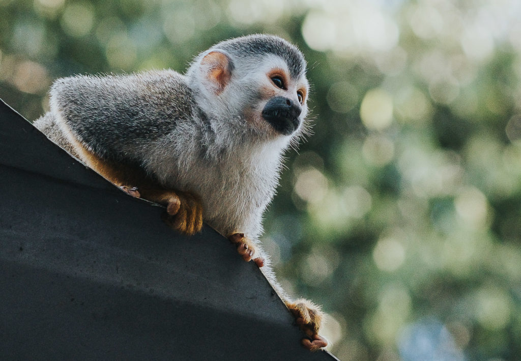 close up of monkey sitting on roof in costa rica wedding photographer